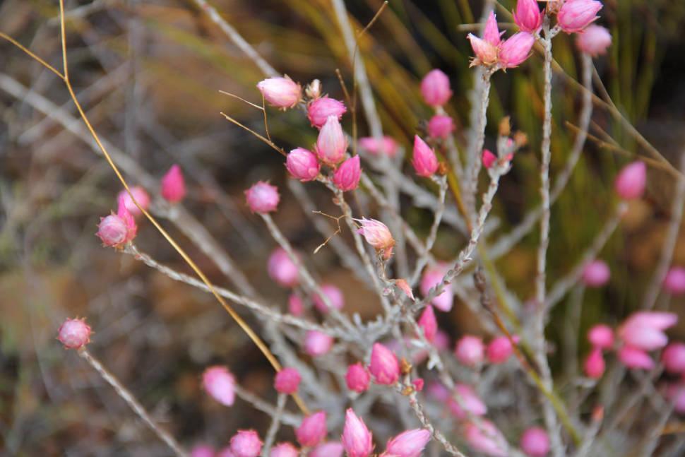 Kouebokkeveld blooming beauty