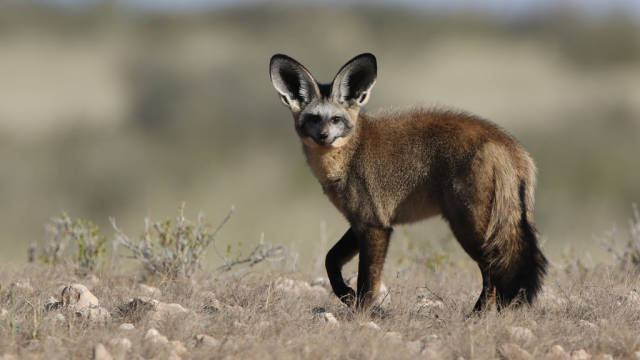 Bat-eared fox at Kgalagadi Transfrontier Park, Northern Cape, South Africa