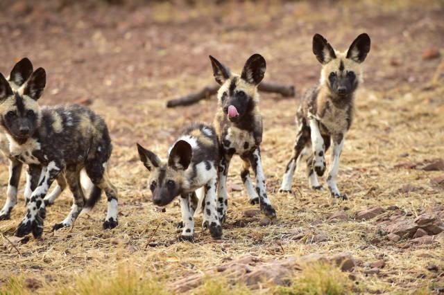 African wild dogs in De Wildt Cheetah and Wildlife Centre