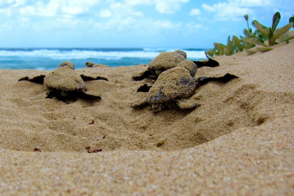 Loggerhead turtles in Mabibi