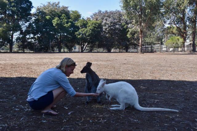 Best time to see Baby Kangaroos (Joeys) in South Australia