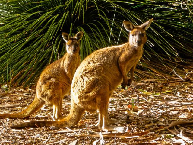Best time for Baby Kangaroos (Joeys)