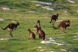 Baby Kangaroos (Joeys)
