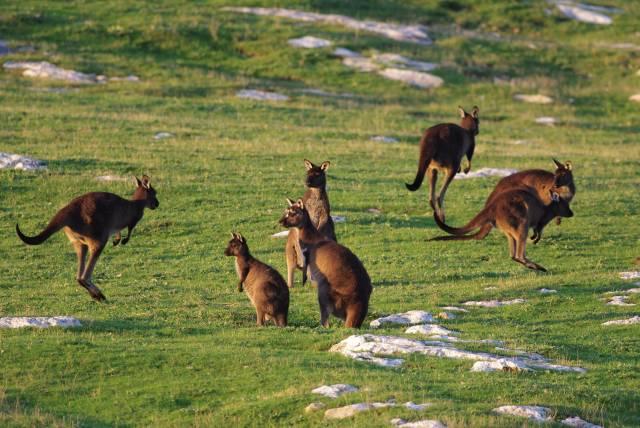 Baby Kangaroos (Joeys) in South Australia - Best Time