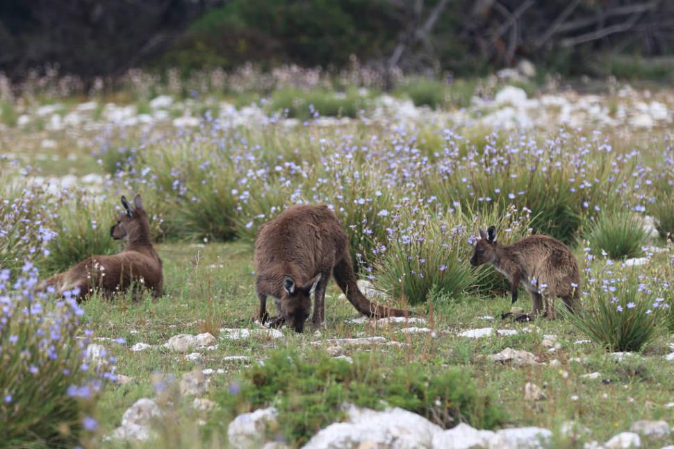 Baby Kangaroos (Joeys) in South Australia - Best Season