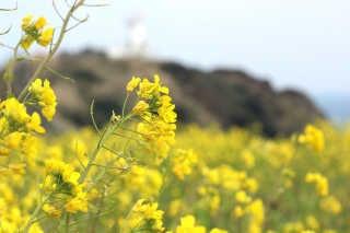 Canola (Yuche) Bloom on Jeju Island