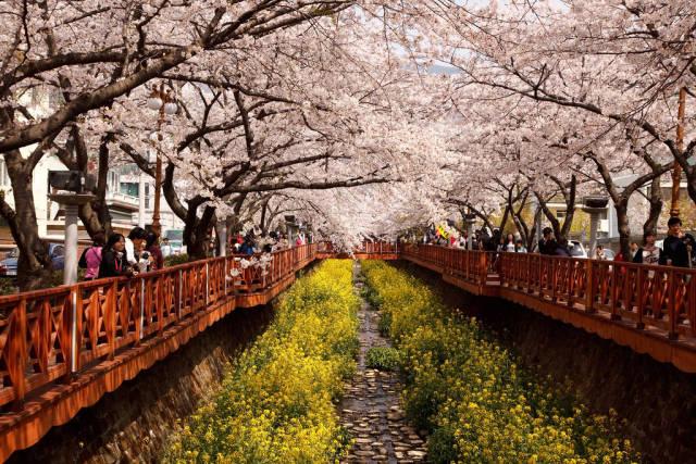 Cherry Blossom in Jinhae