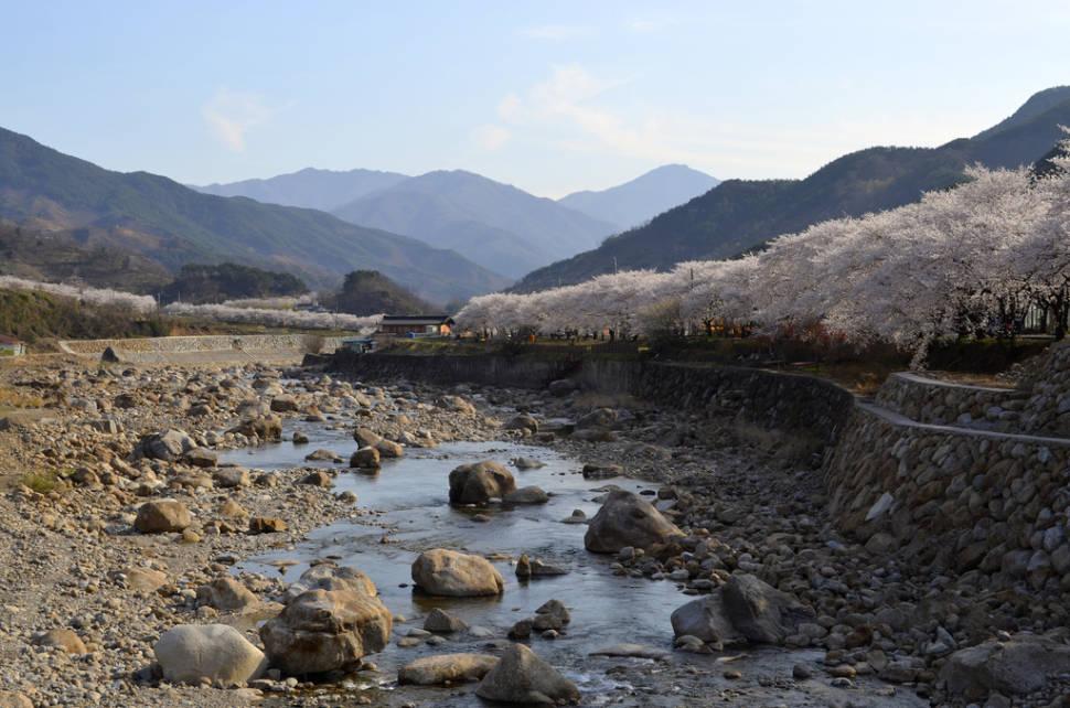 Cherry Blossoms, Hwagae-myeon, Hadong-gun, Jeollanamdo