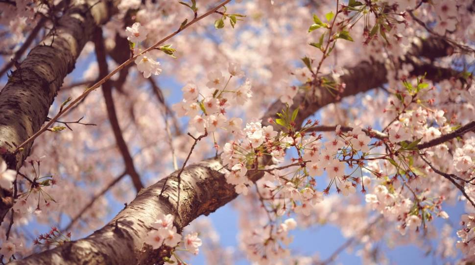 Cherry Blossom in South Korea - Best Time