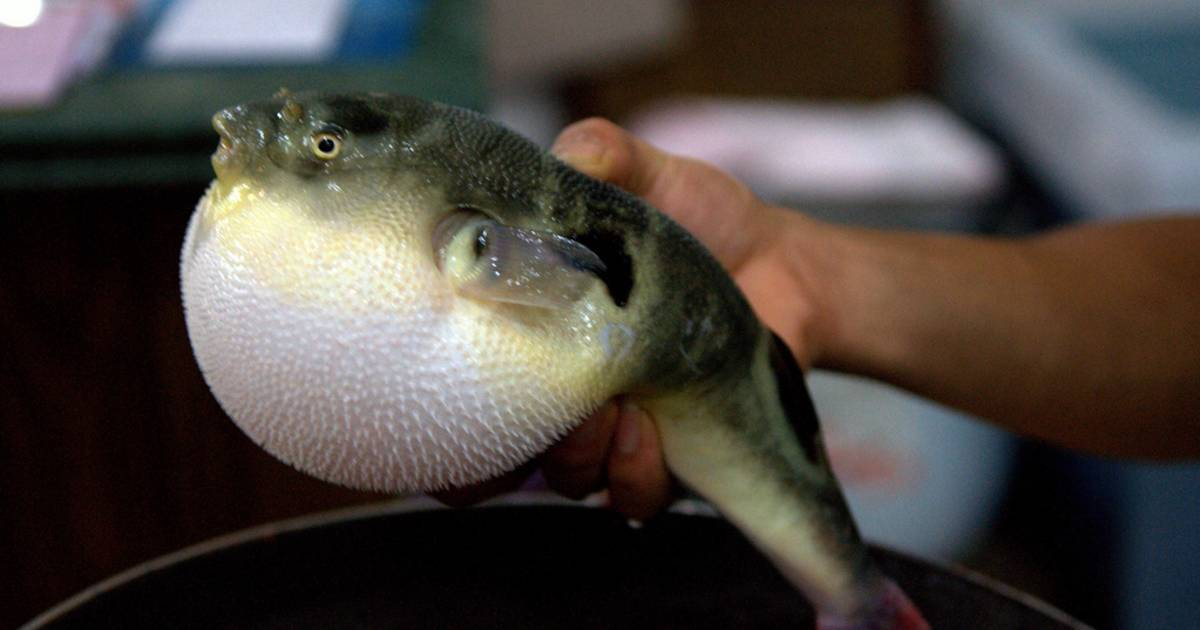 Fugu (Puffer Fish or Blowfish) in South Korea - Best Time
