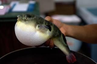 Fugu (Puffer Fish or Blowfish)