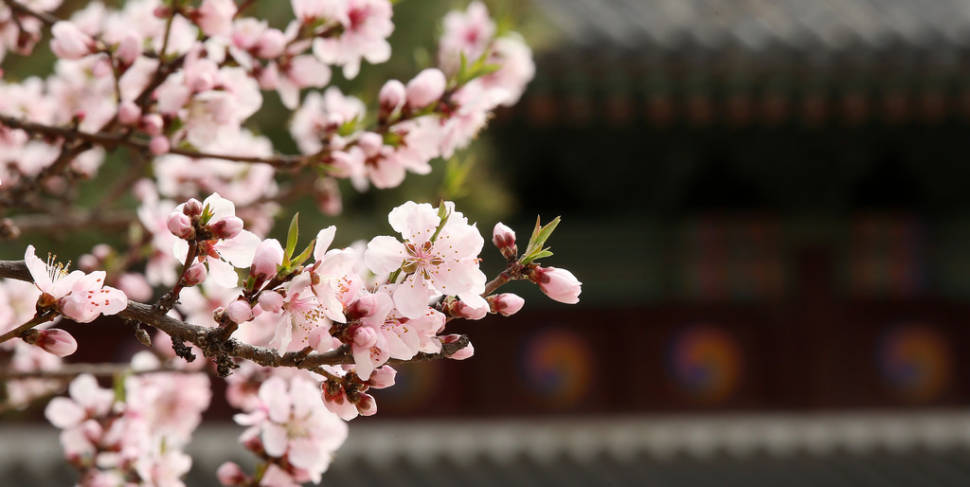 Spring in South Korea - Best Time