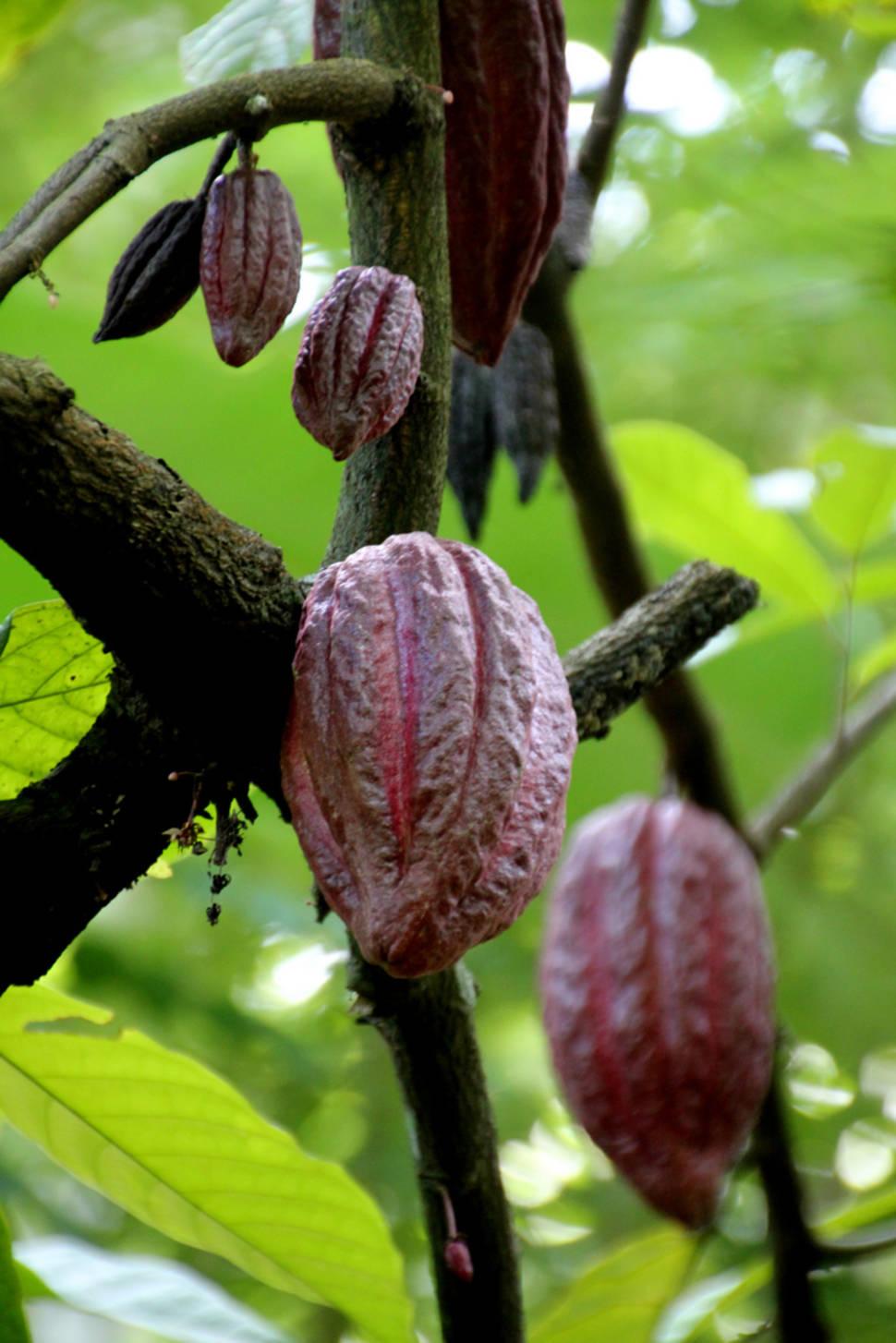 Cocoa in Sri Lanka - Best Season