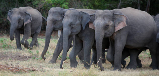 Elephant Gathering in Sri Lanka - Best Season