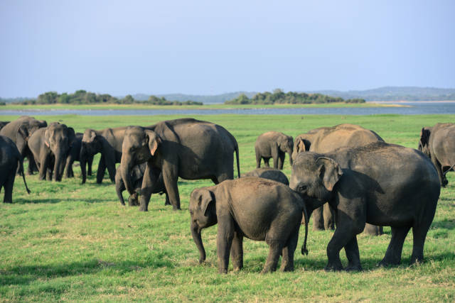 Elephant Gathering in Sri Lanka - Best Time