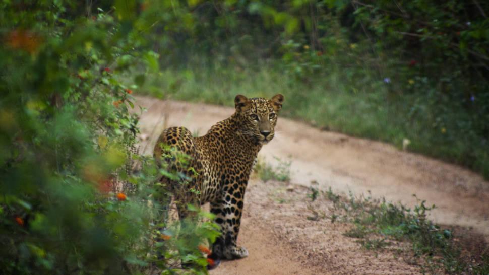 Best time for Leopard Safari in Sri Lanka