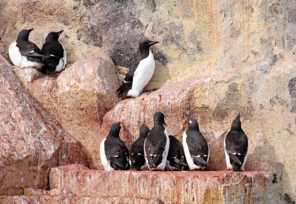 Alkefjellet bird cliffs