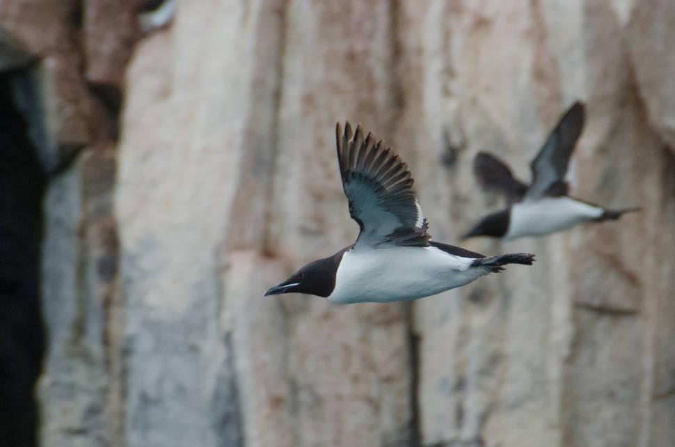 Brunnich's Guillemot Bird Bazaar in Svalbard - Best Season