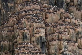 Brunnich's Guillemot Bird Bazaar