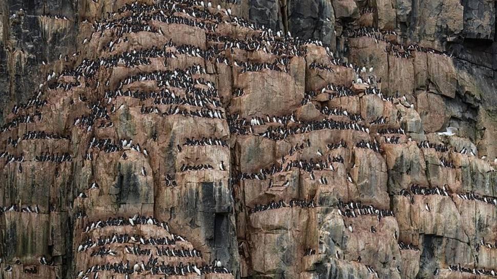 Brunnich's Guillemot Bird Bazaar in Svalbard - Best Time