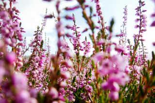 Flowers of Lapland