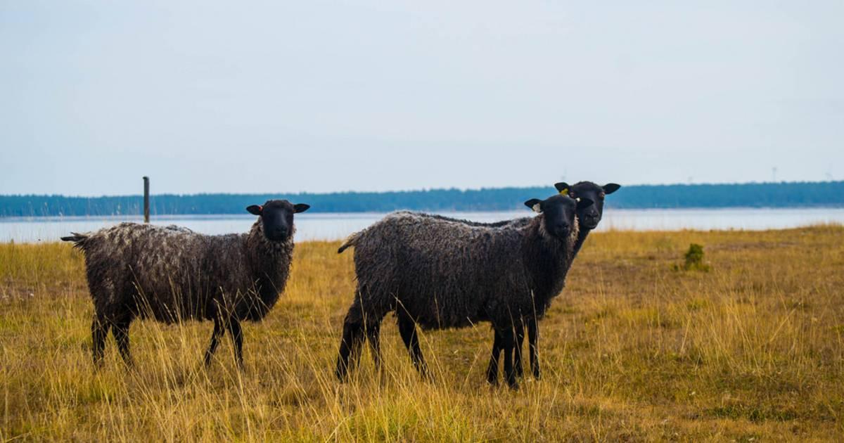 Gotland Pelt Sheep in Sweden - Best Time