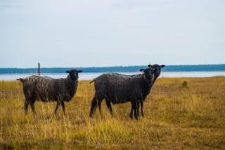 Gotland Pelt Sheep