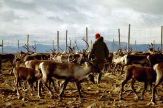 Marking the Reindeer
