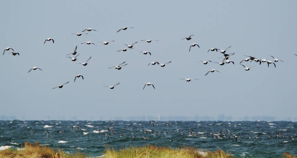 Migrating Birds at Falsterbo in Sweden - Best Season