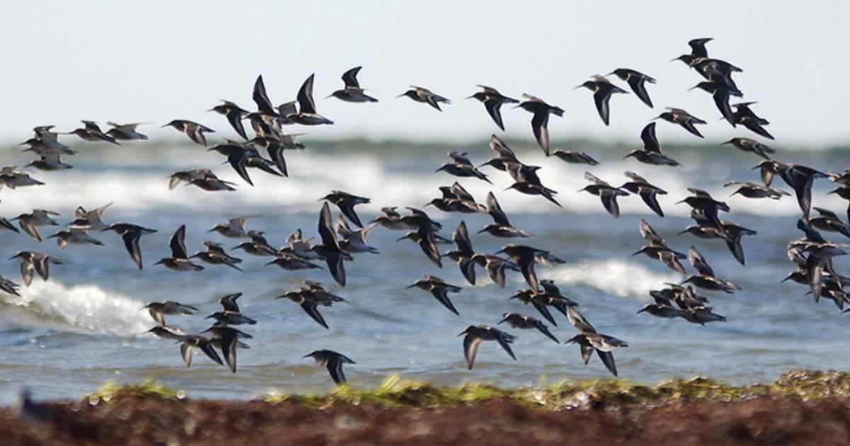 Migrating Birds at Falsterbo in Sweden - Best Time