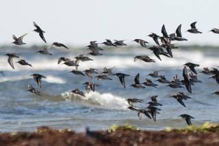 Migrating Birds at Falsterbo