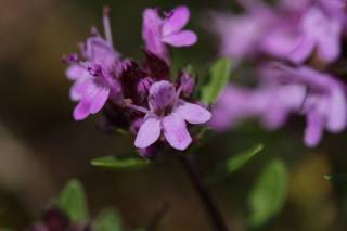 Alpine Herbs