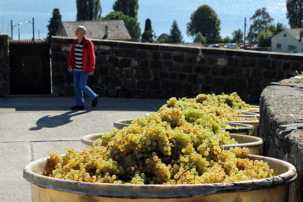 Grape Harvest and Wine Season in Switzerland - Best Season