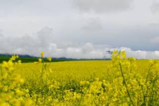 Mustard Fields in Bloom