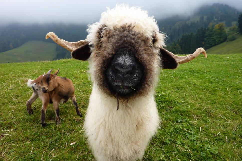 Valais Blacknose Sheep in Switzerland - Best Time
