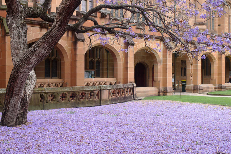 Jacaranda carpet, Sydney University
