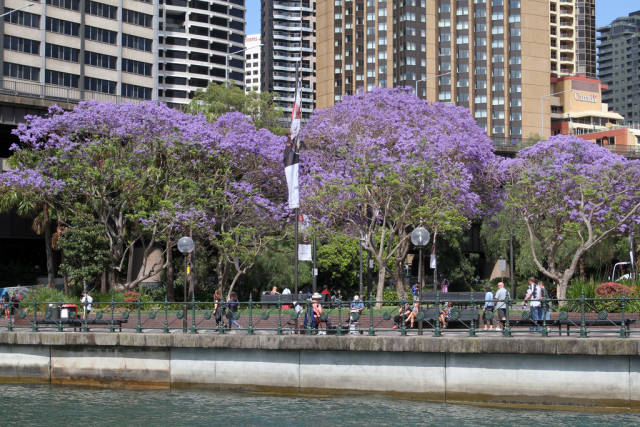 Best time for Jacaranda Trees in Bloom in Sydney