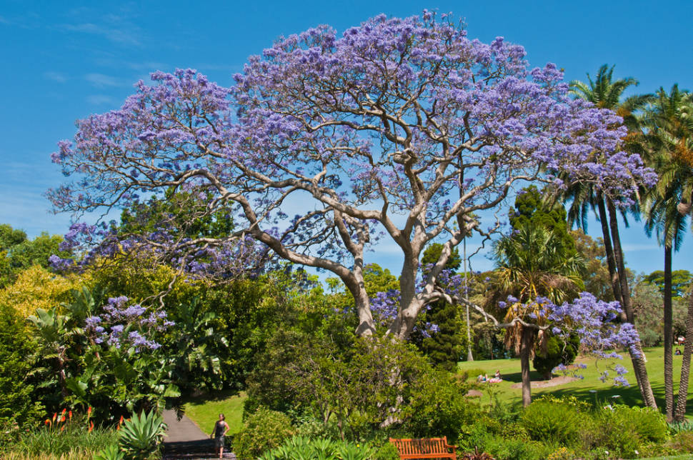 Jacaranda Trees in Bloom in Sydney - Best Time