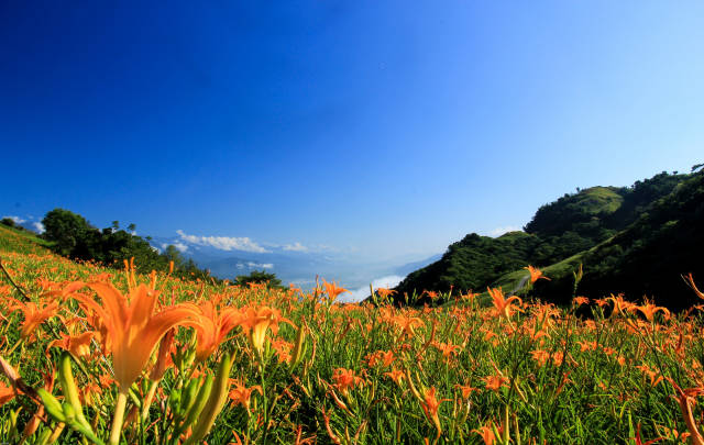 Best time for Daylily Blossom in Taiwan