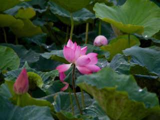Tainan Baihe Lotus Season