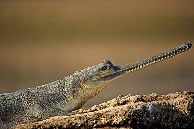 Gharial (alligator)