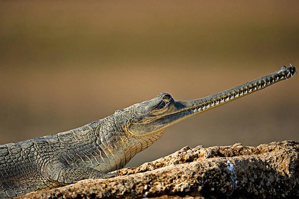 Gharial (alligator)