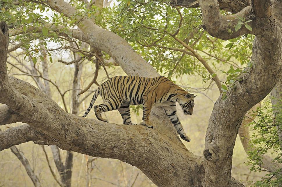 Tiger Safari in Ranthambore National Park in Taj Mahal and Agra  - Best Season
