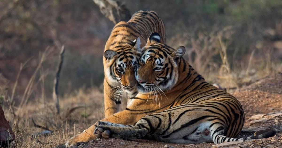Tiger Safari in Ranthambore National Park in Taj Mahal and Agra  - Best Time