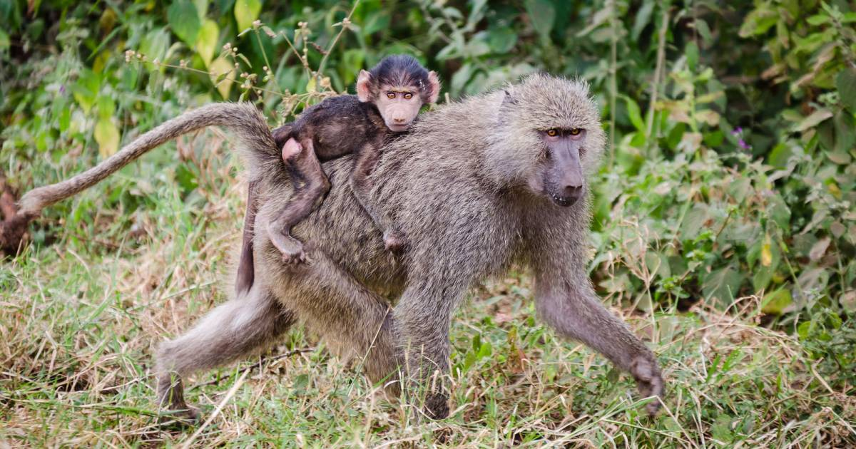 Baboon Troops in Tanzania - Best Time