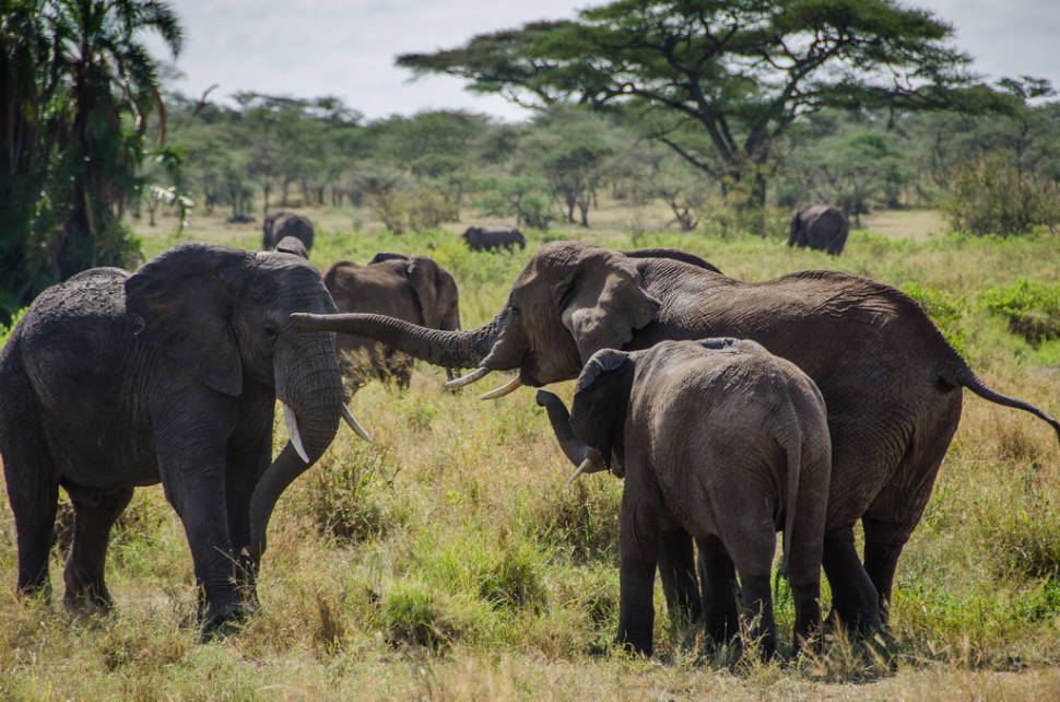 Herd of elephants in the Serengeti