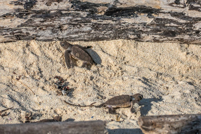 Best time to see Sea Turtle Hatchlings in Tanzania
