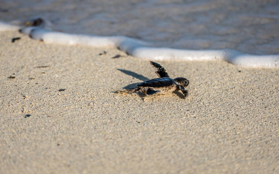 Best time for Sea Turtle Hatchlings in Tanzania