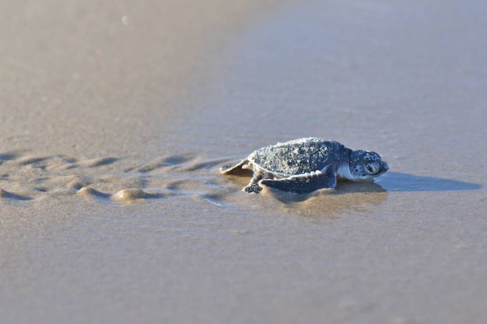 Sea Turtle Hatchlings in Tanzania - Best Season