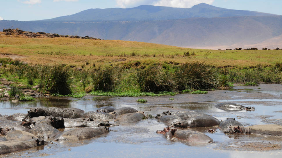 Watching Active Hippos in Tanzania - Best Season